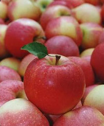 reactions on scent of apples Rose allergy symptoms dermnet nz advises that two types of fragrances derived from roses are frequently the source of allergic reactions: eugenol.